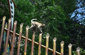 A monkey plays around