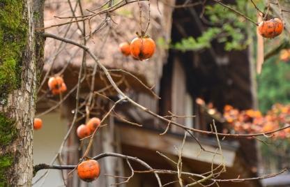 Buah Persimon yang masih tersisa di pohon tanpa daun